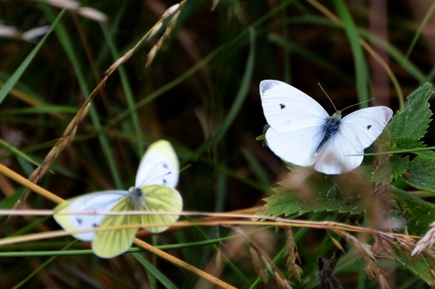Green veined white and small white.