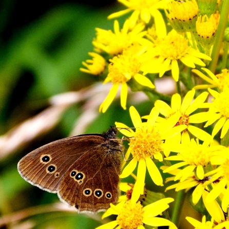 Ringlet on ragwort