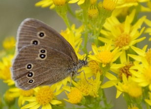 Ringlet on ragwort.