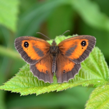 Male gatekeeper