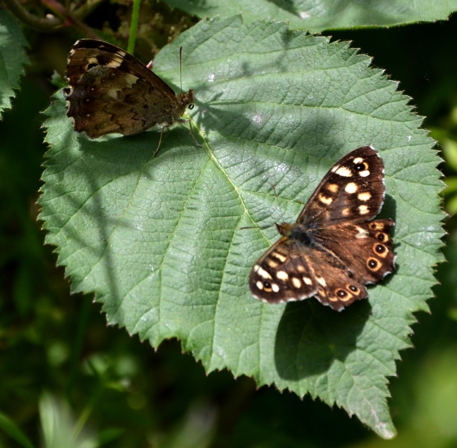Two Speckled wood butterflies meet on a bramble leaf,