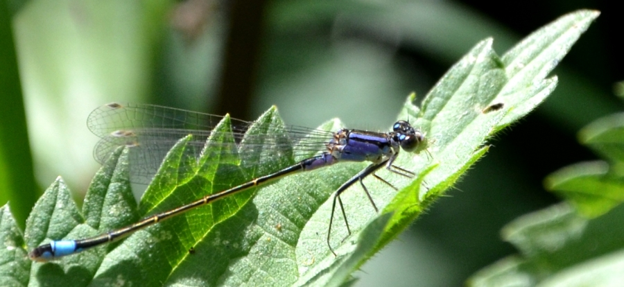 There's quite a few damselflies around the lake. Here's a <i>blue tailed</i> one.