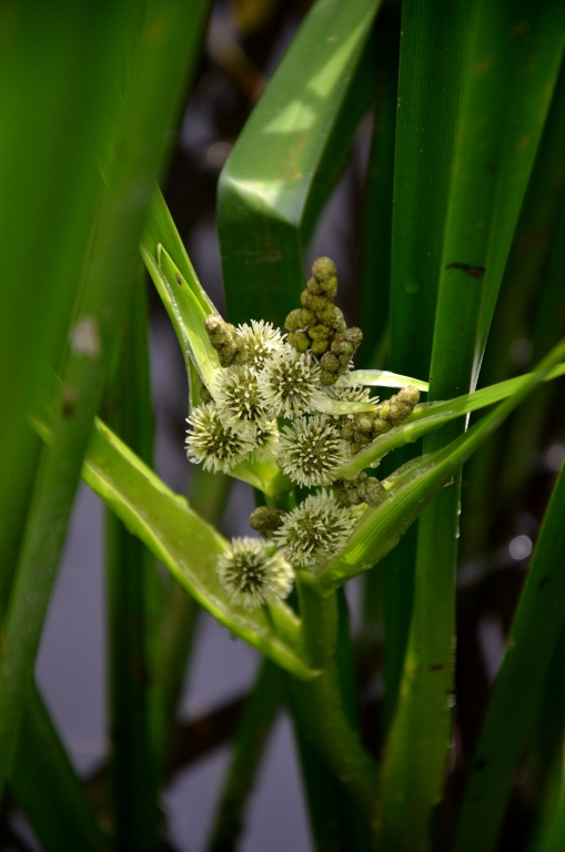 Reed flowers.