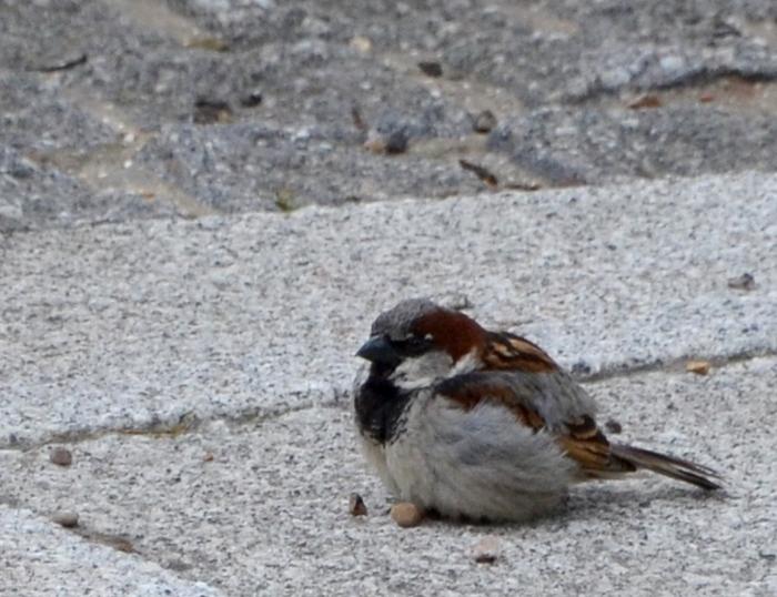 Car park sparrow.