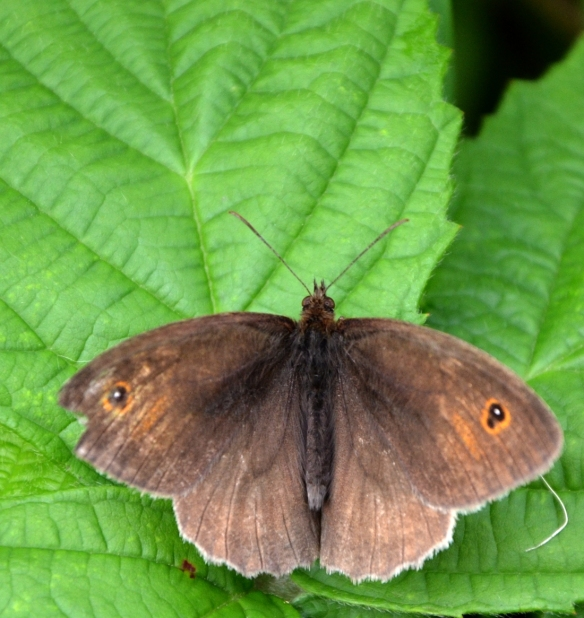 Male meadow brown