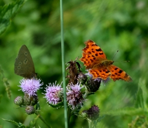Ringlet and comma on thistle