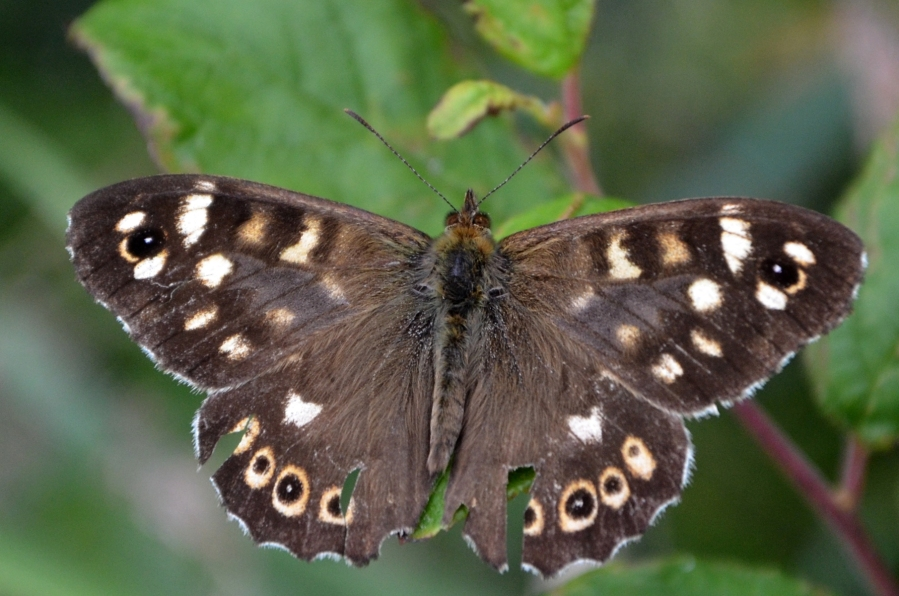 Ubiquitous Speckled wood