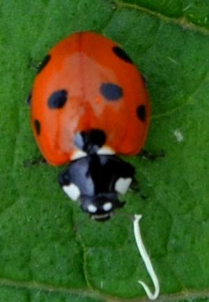 Ladybird (seven spot?)