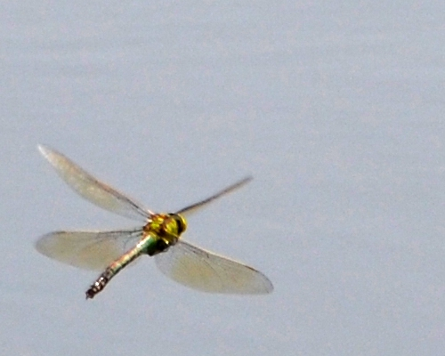 DSC_5116Dragonfly