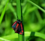 Cinnabar moth (Tyria jacobaeae). Caterpillars live on the yellow ragwort which is quite common round the pond.