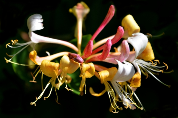 Single honeysuckle flower