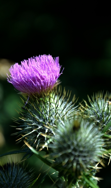 O flower of Scotland