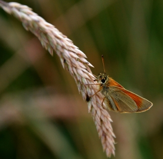 Skipper on grass