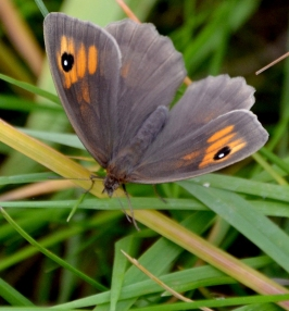 Female meadow brown