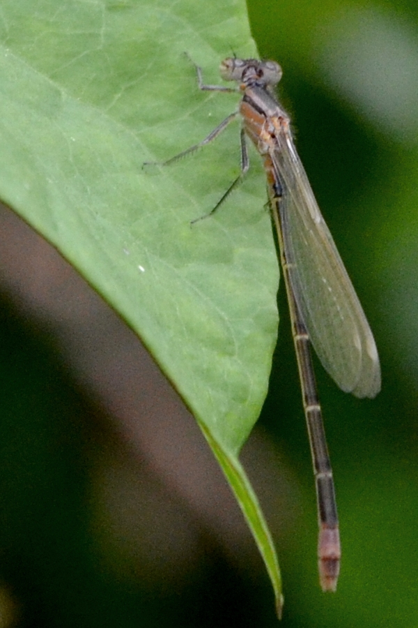 Damselfly (female blue tailed?)