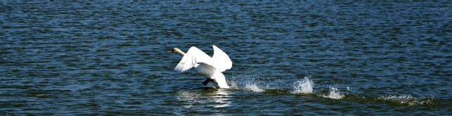 Swan in a hurry