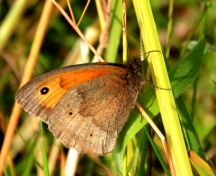 Another meadow brown