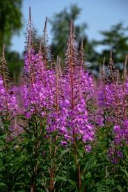 Rose bay willow herb