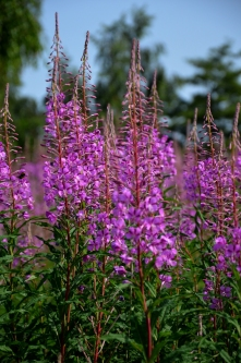 Rose bay willow herb