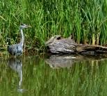 Heron in the water