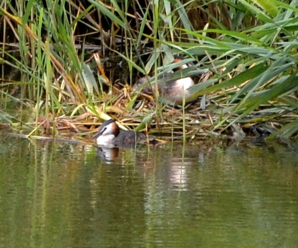 Grebes on the nest