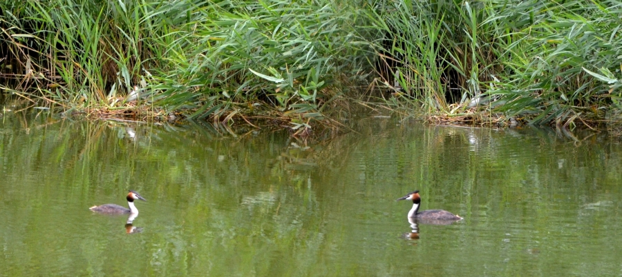 Two views of the grebe's nest joined