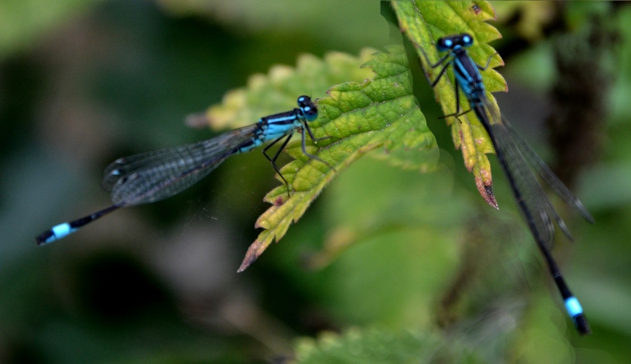 The same blue tailed damsel from two directions