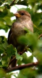 ... sparrows