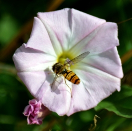 Hoverfly on convulvulus