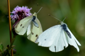 Small whites after ...