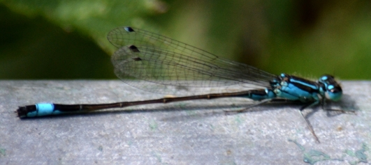 Blue tailed damsel