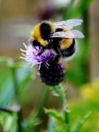 Bee - thistle