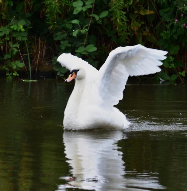 Swan gullwinging