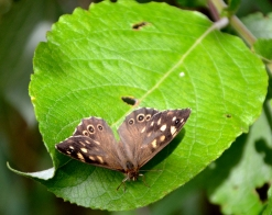 Speckled wood on beech