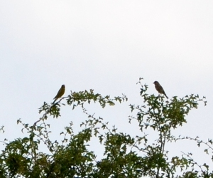 Two chaffinches …