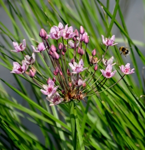 Bee on flowering rush