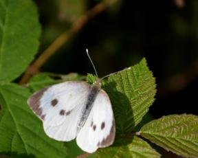 Female green veiened white