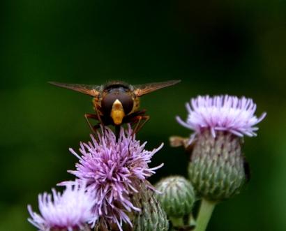 Bee(?)