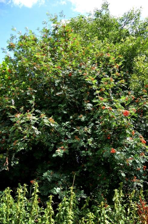 """Rowan tree or """"mountain ash"""""""