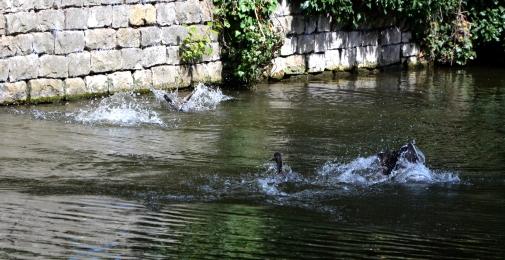 Ducks a-diving