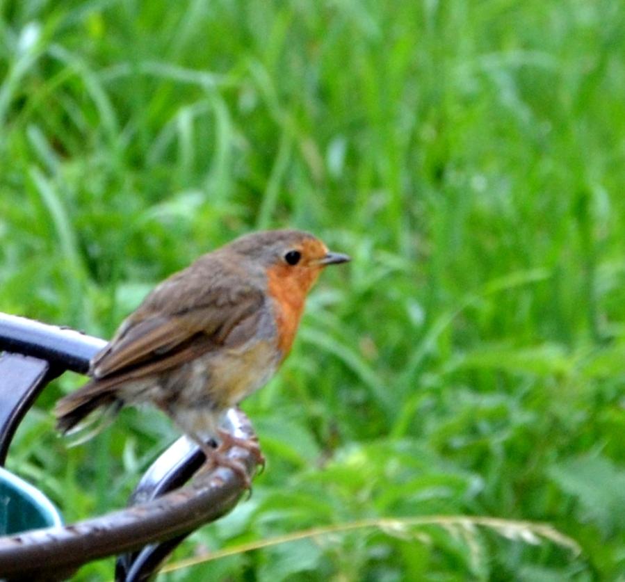 Robin on litterbin
