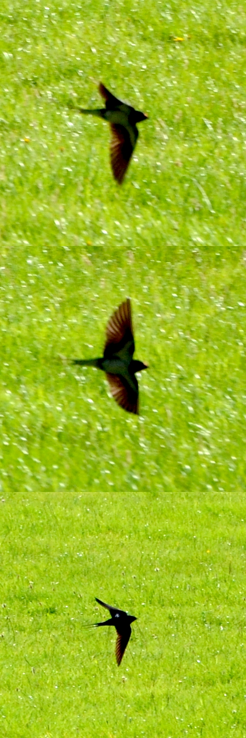 Swallow over the rugby field