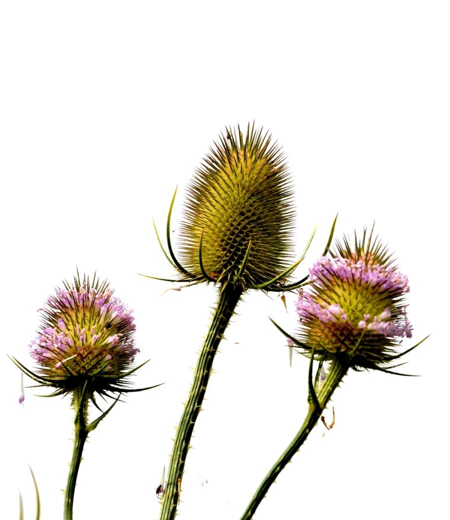 My favourite plant: teasel (or is it teazel?)