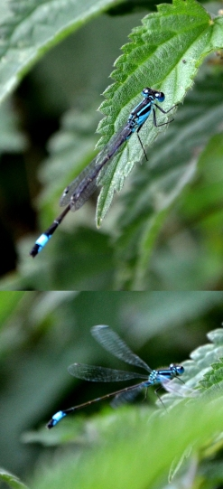 Blue tailed damsel