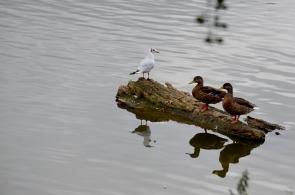 Ducks posing
