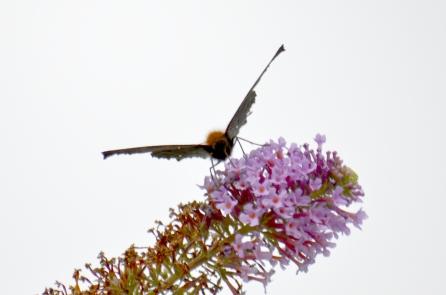 Peacock on buddleia