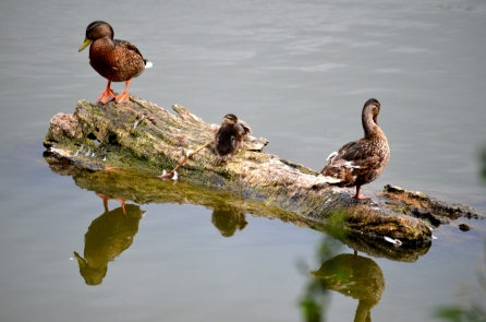 Mallards with chick on the posing log
