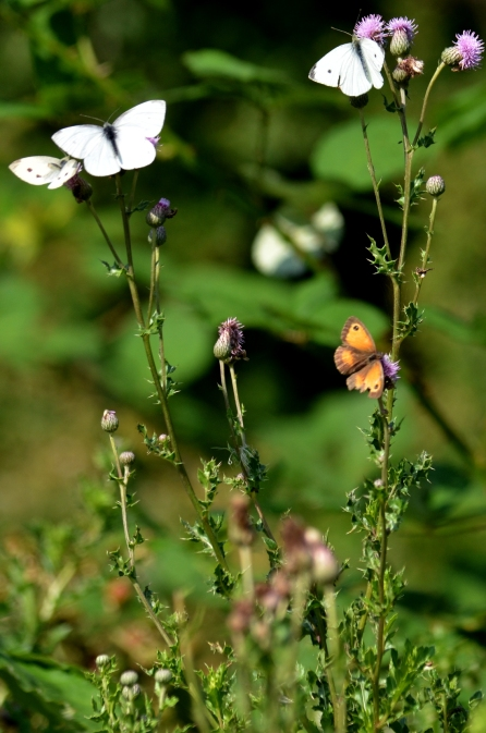 Thistles are butterfly magnets