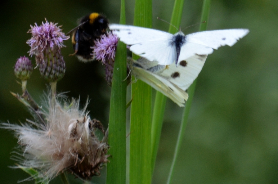 "Small whites ""at it"""