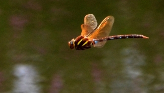 Brown Hawker